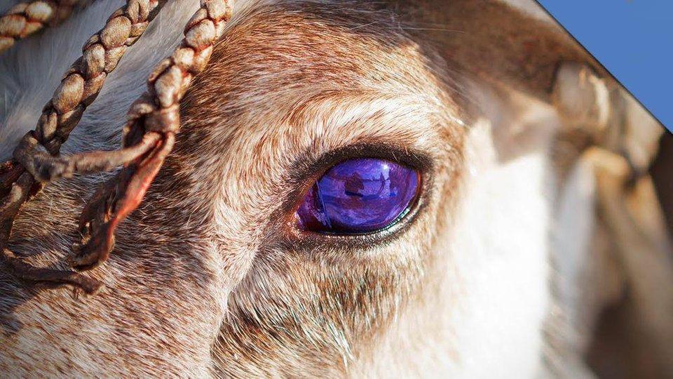 Occhi di renna, blu d'inverno