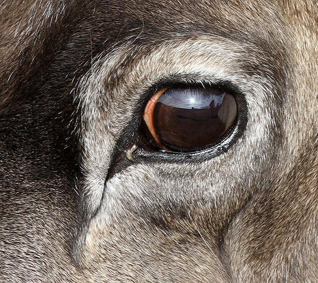 Occhi di renna, marroni d'estate