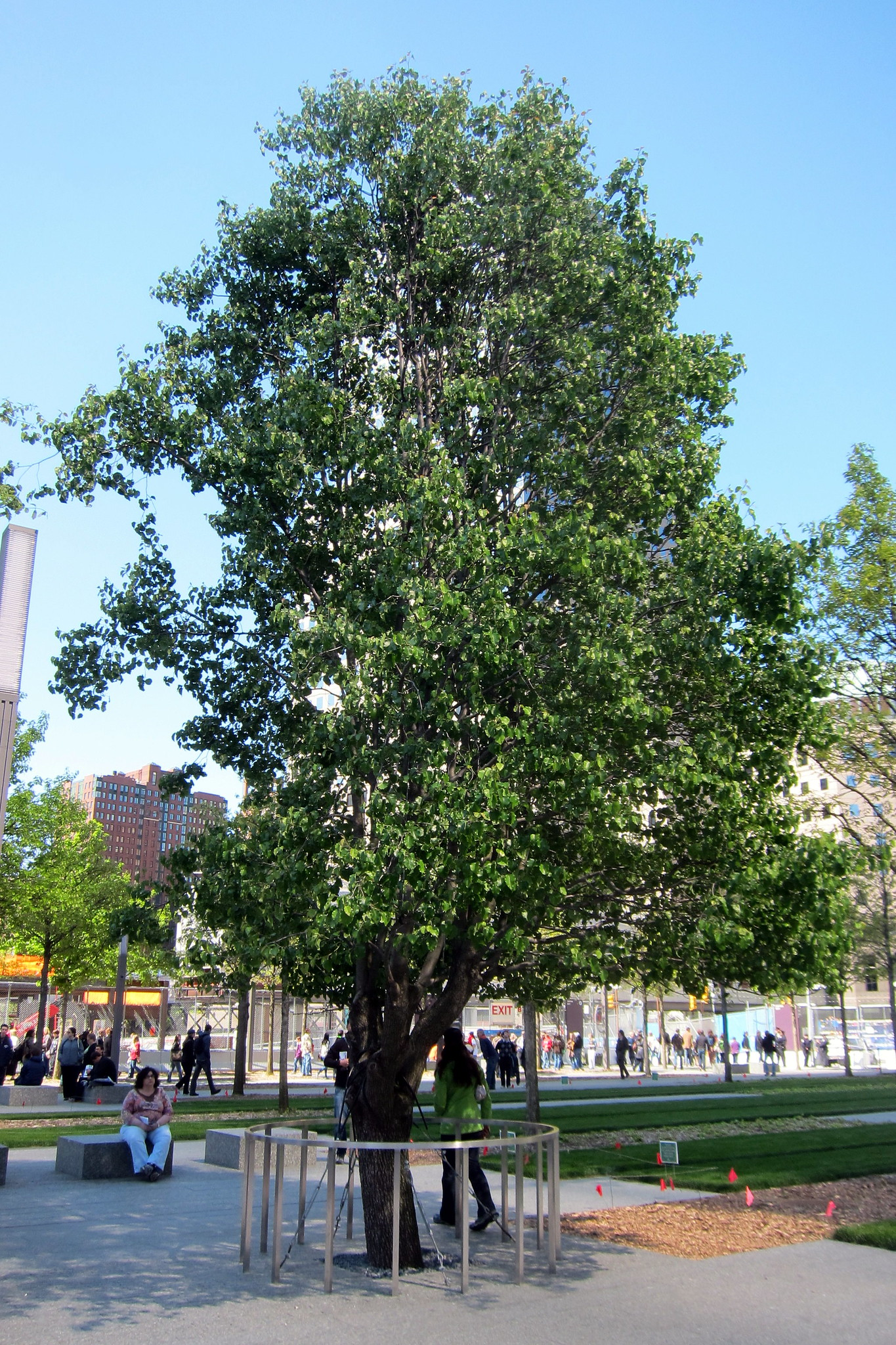 Survivor Tree, l'albero sopravvissuto all'11 settembre