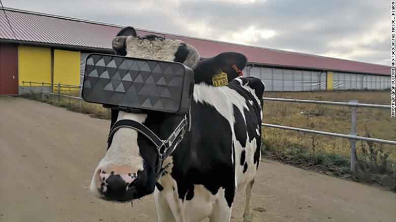 Mucche con il visore per la realtà virtuale