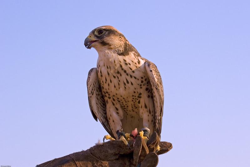 Falco a Dubai