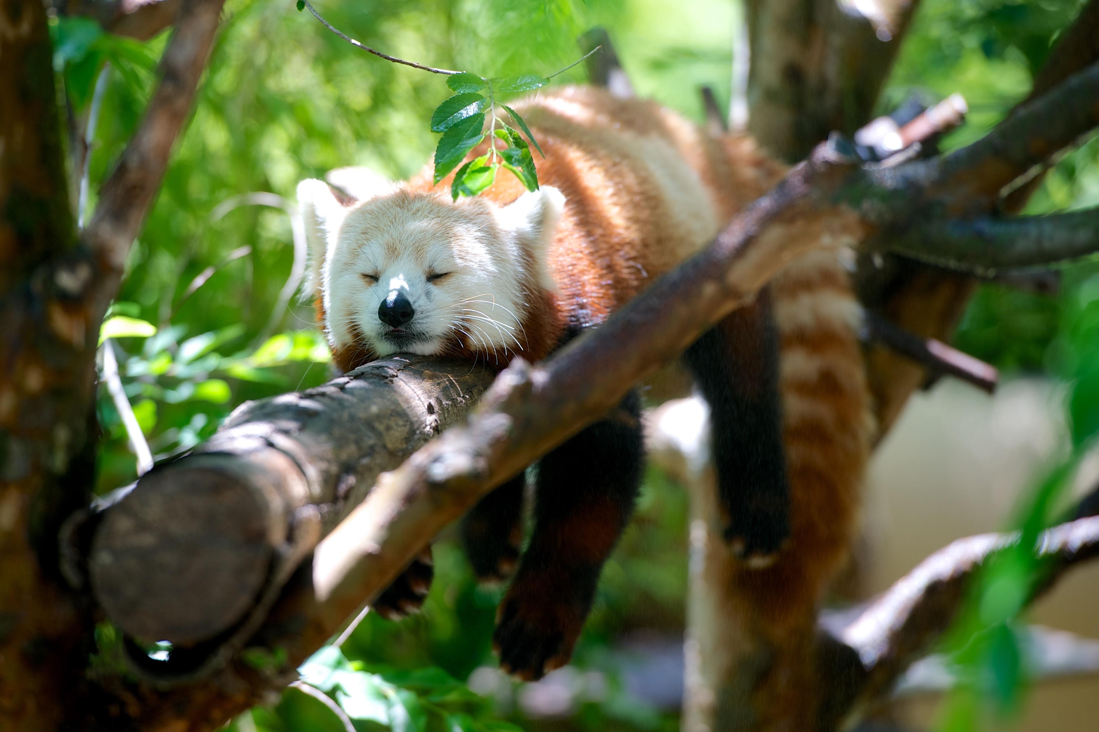 Panda rosso che dorme