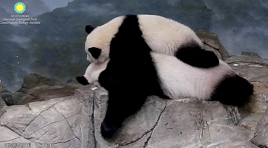 Due Panda che dormono