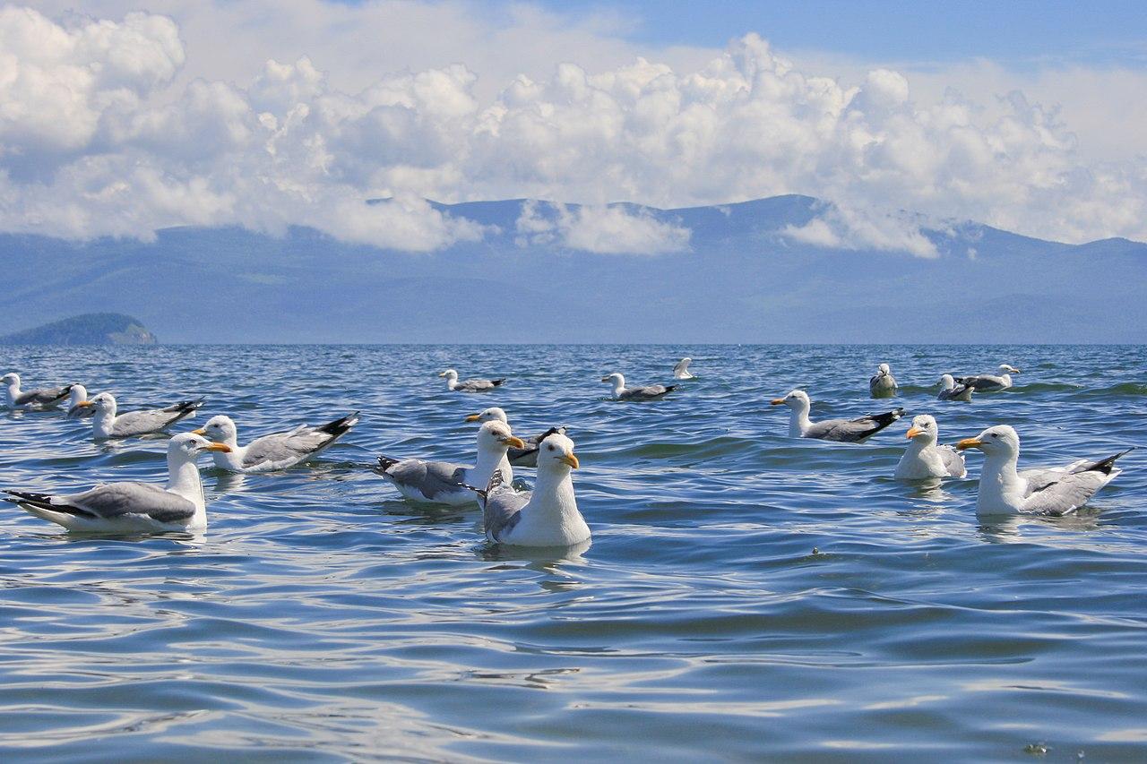 Gabbiani di Vega sul Lago Baikal