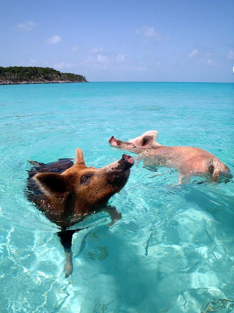 maiali nuotano alle bahamas