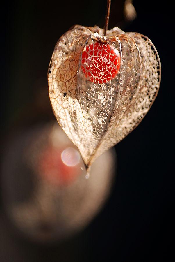piante di alkekengi o lanterne cinesi