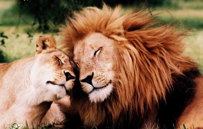 i leoni si strofinano le teste