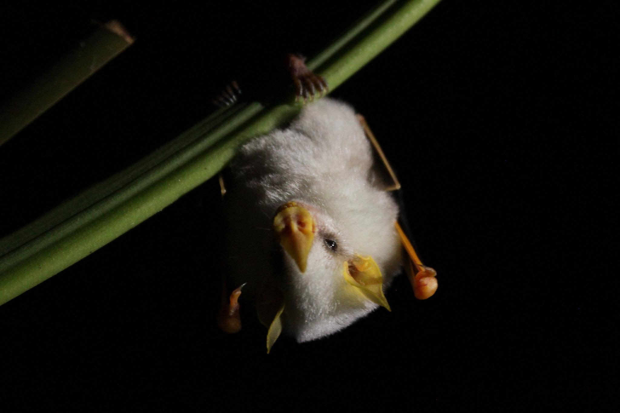 pipistrello bianco dell'honduras appeso a una foglia