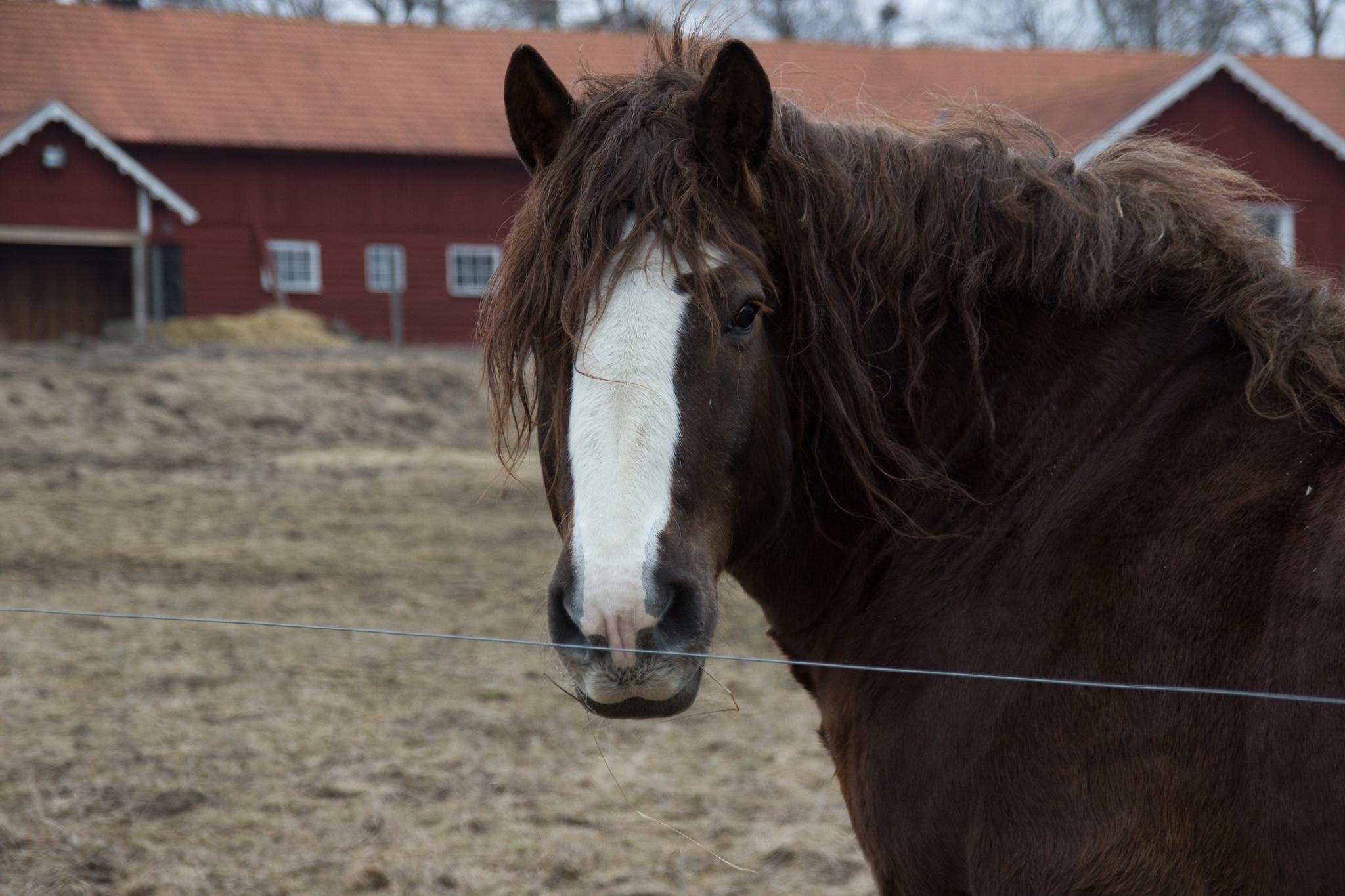 cavallo con manto arricciato curly