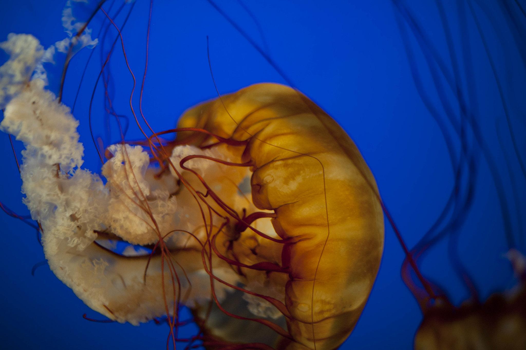 medusa criniera di leone