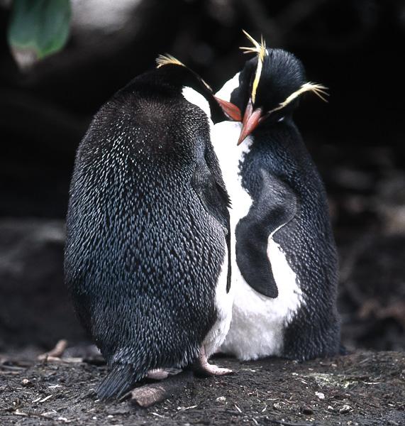 i pinguini delle Snares
