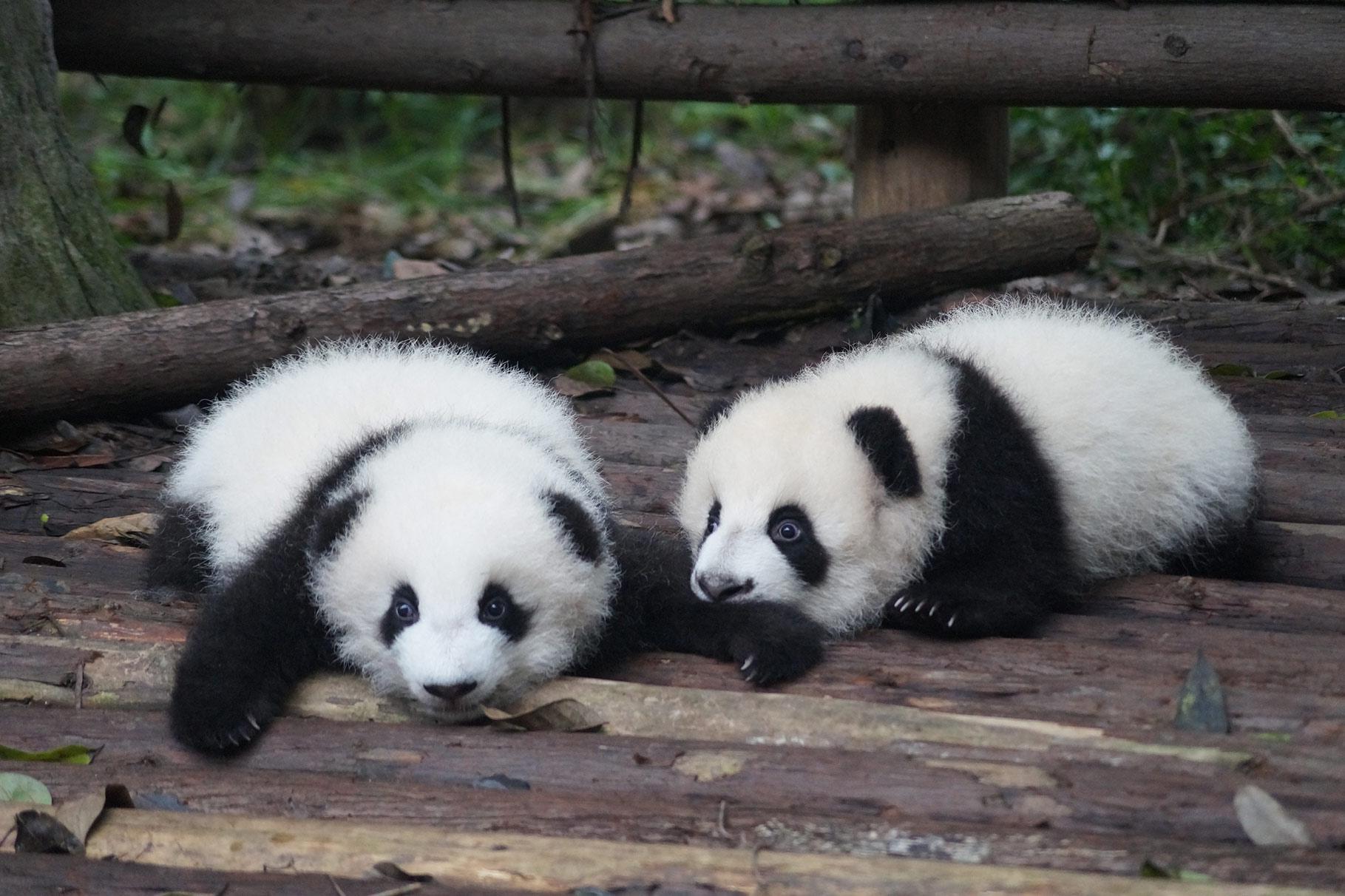 Panda cuccioli