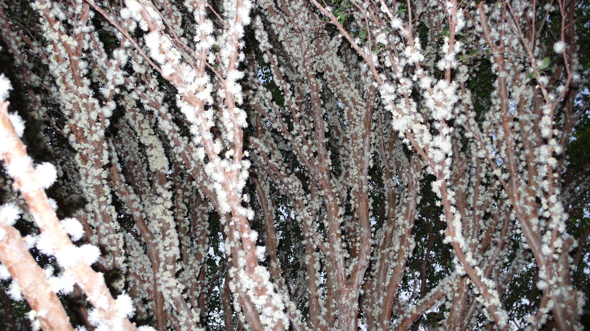 jabuticaba: i fiori e i frutti crescono direttamente sul tronco