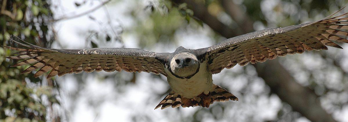 Aquila arpia