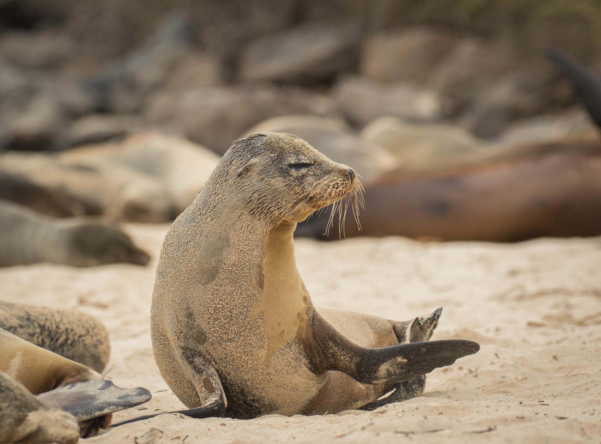 Cucciolo di leone marino nella sabbia