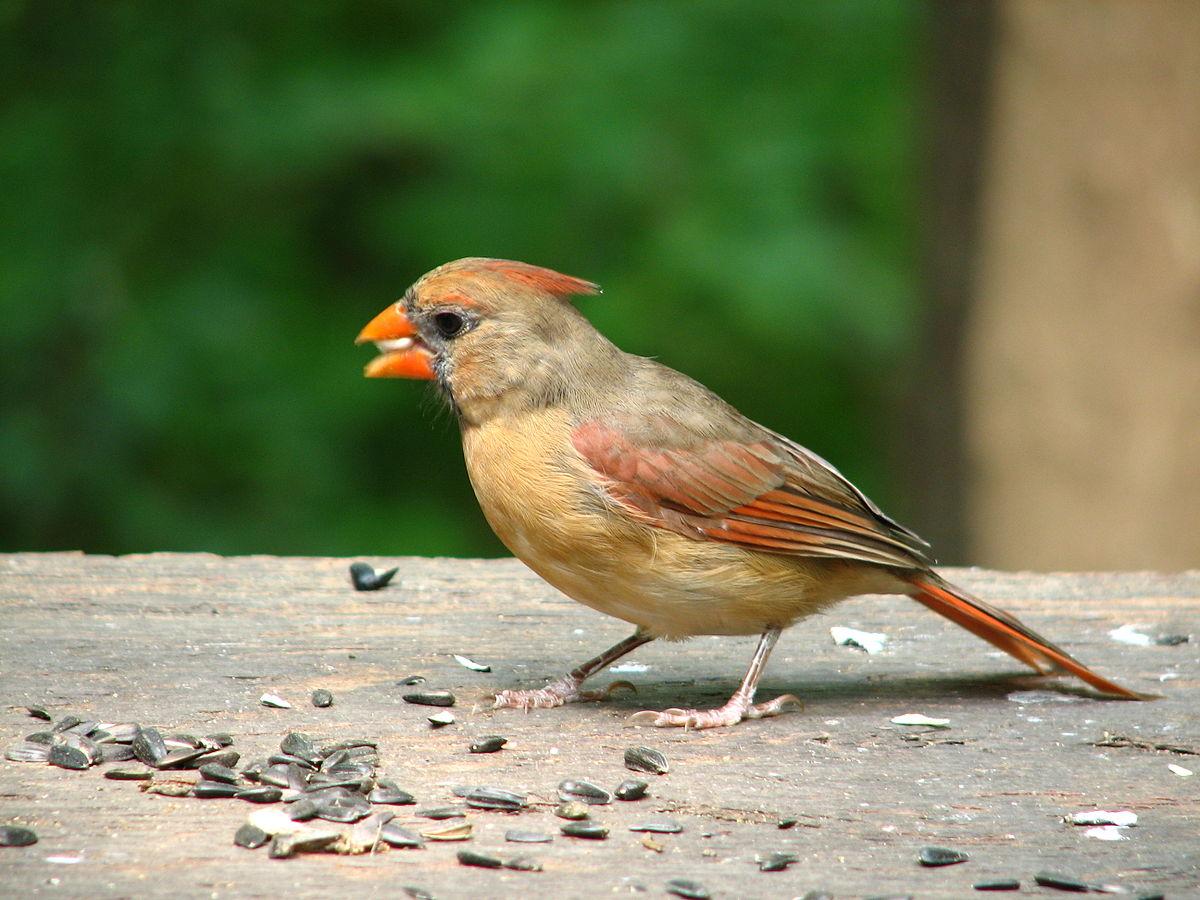 uccelli cardinale