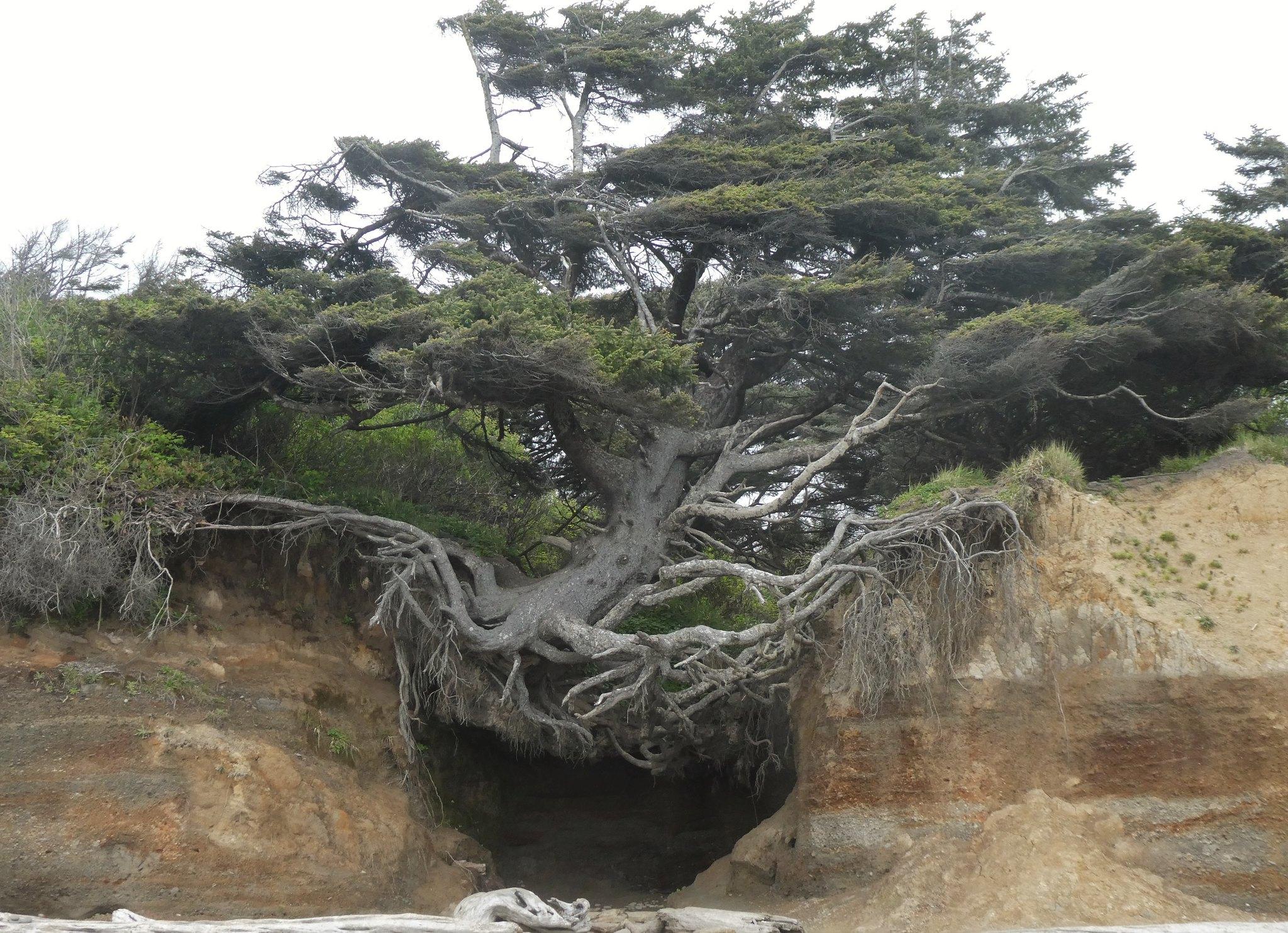 The Tree of Life di Kalaloch, Washington