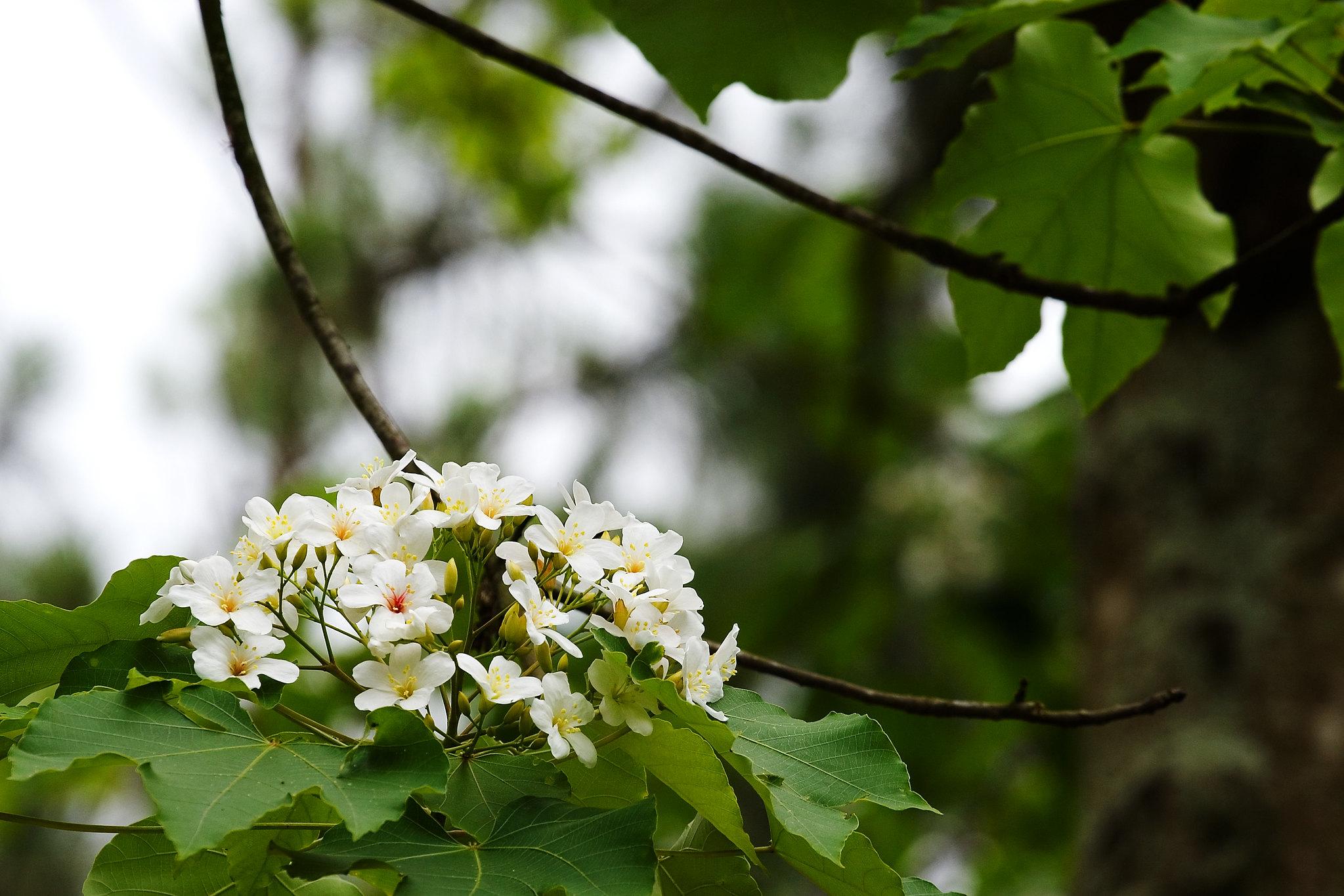 """Piantare Alberi Di Paulonia la paulownia, l' """"albero della principessa"""" che in giappone"""