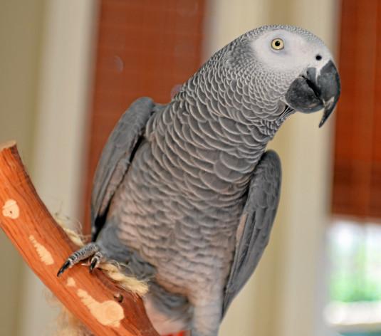 Nigel il pappagallo