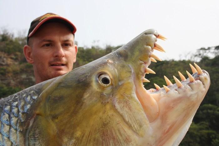 Pesce tigre golia