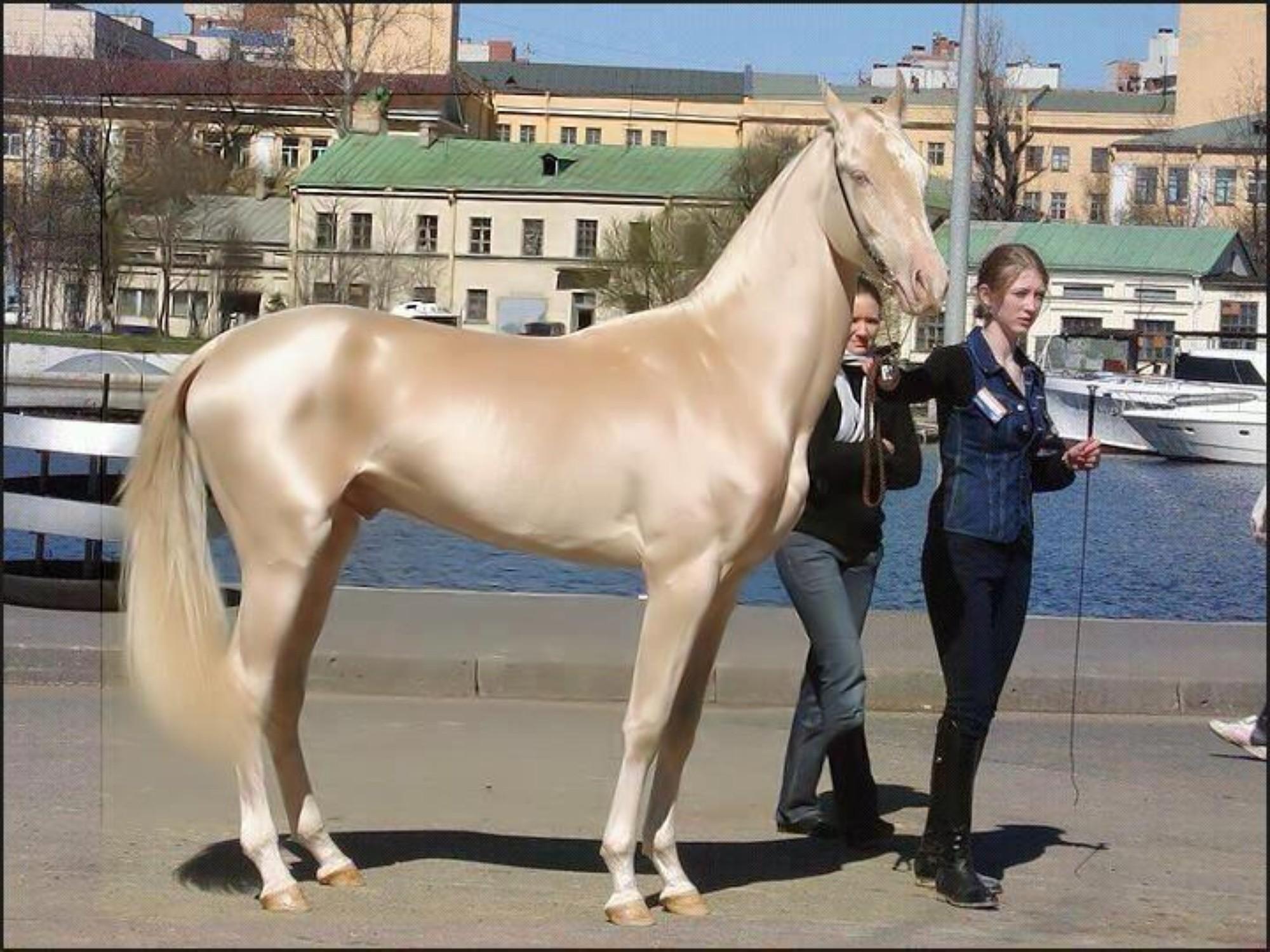 Cavallo Akhal-Teke dorato