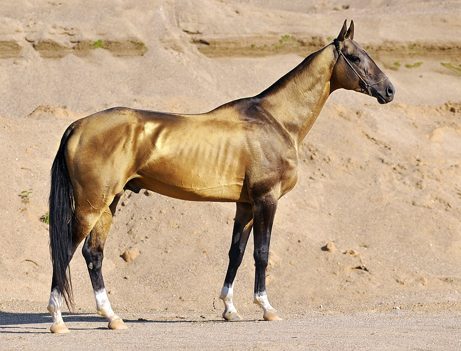 Cavallo Akhal-Teke