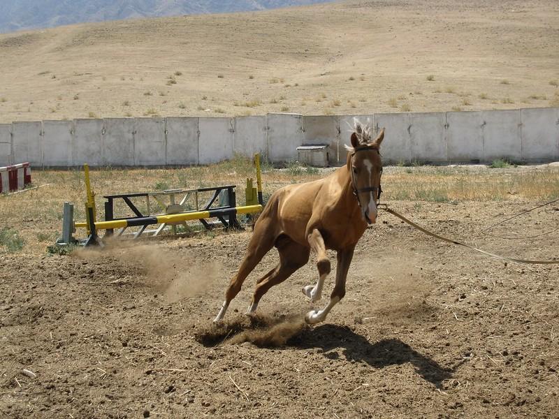 Cavallo Akhal-Teke in movimento