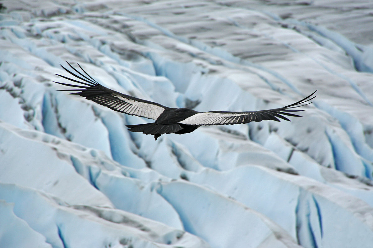 Condor delle Ande
