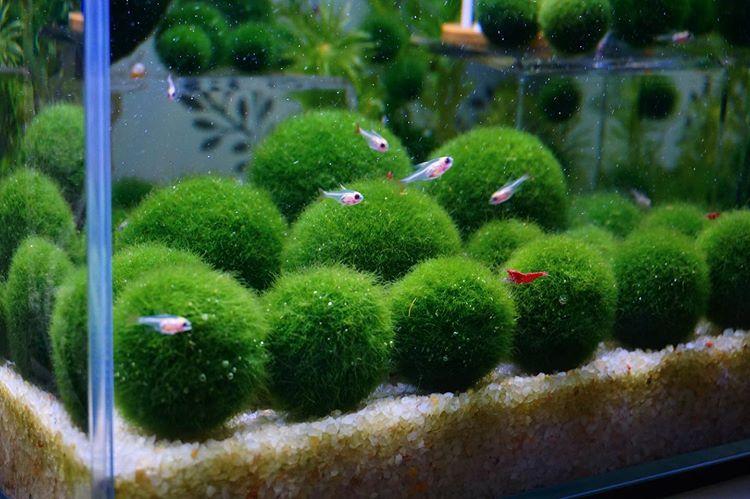 Acquario con alga marimo - 1