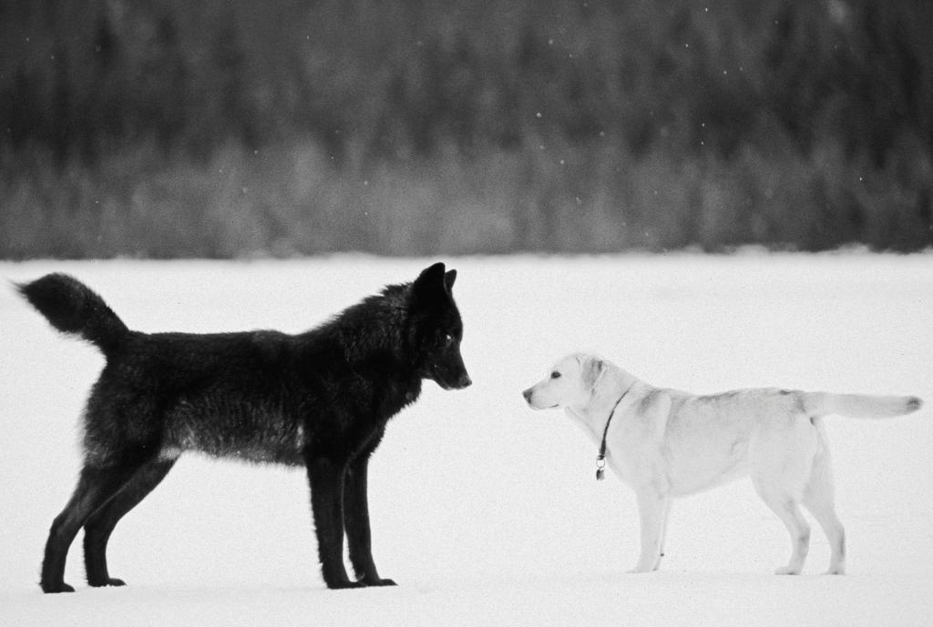 Romeo il lupo